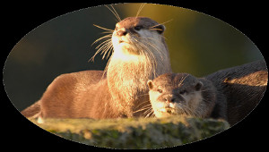 Two otters in the autumn sun