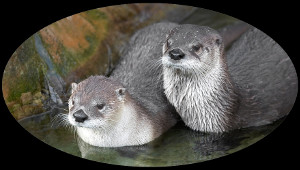 Two wet otters